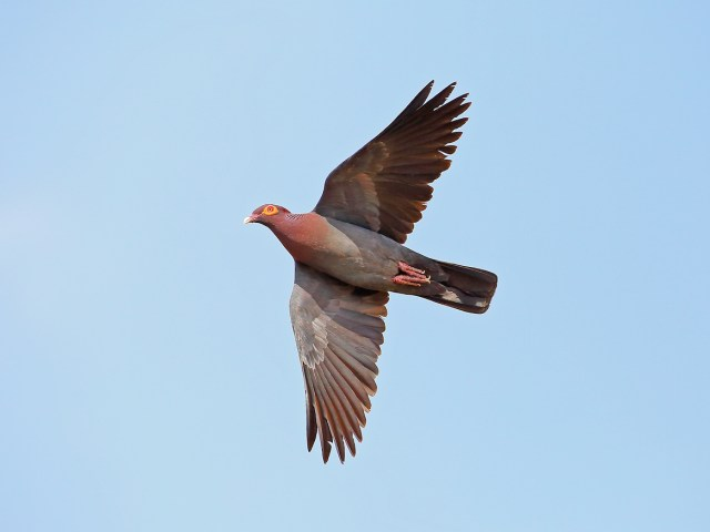 Scaley-naped Pigeon