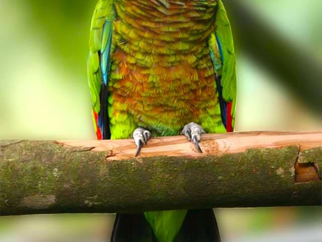 St. Lucia Parrot