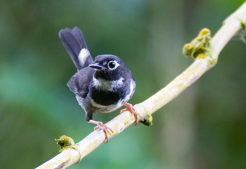 Whistling Warbler