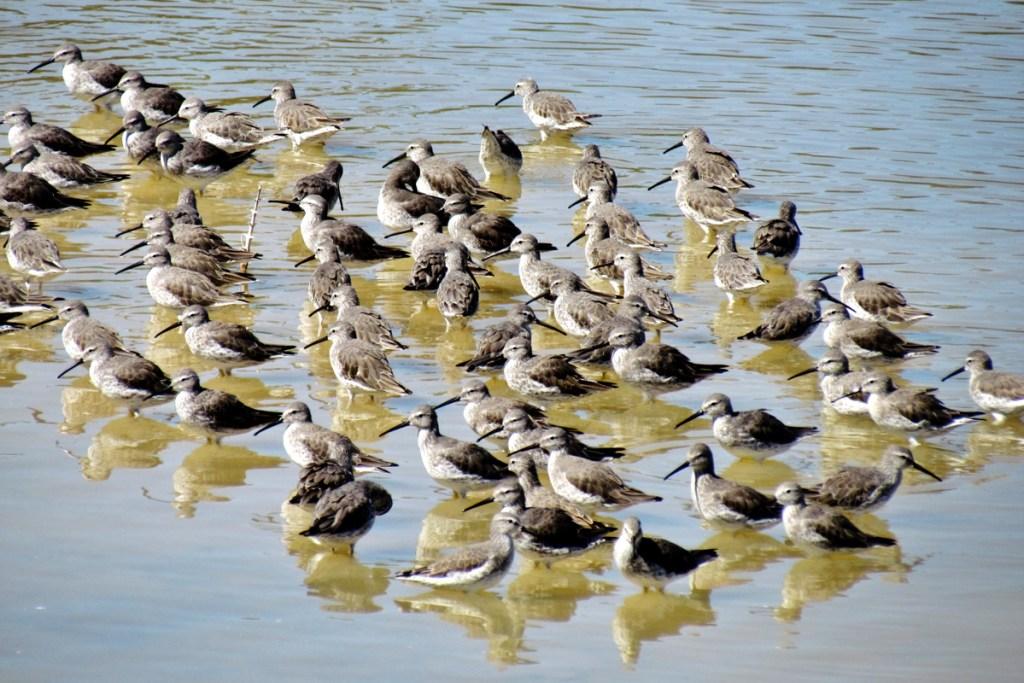 Stilt Sandpiper Flock