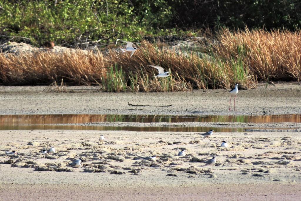 Least Terns Nesting