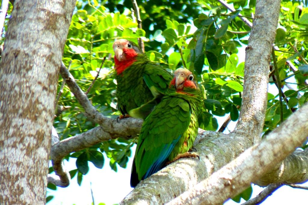 Grand Cayman Parrots, one of two sub-species of Cuban Parrots native to the Cayman Islands