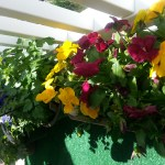 More pansies and herbs