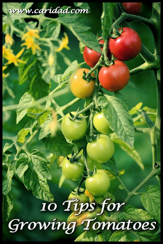 tomato_growing_tips