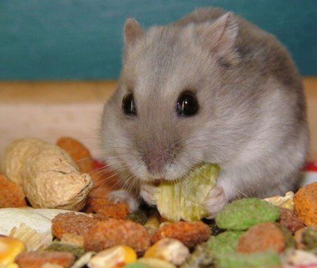 Hamster Food Options