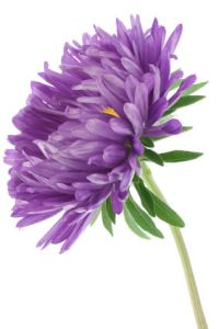 china aster  china asters  china aster flowers Return to Listings