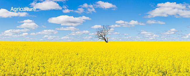 canola crop image under blue sky and spotted cloud from agricultural portfolio