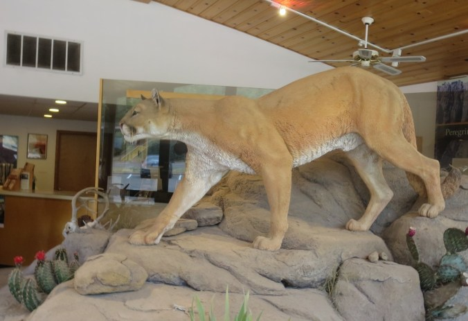 Mountain lion. They are surprisingly large animals.