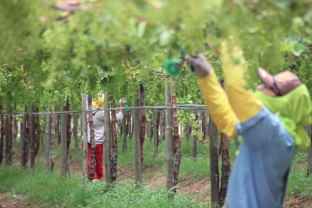 Cadastramento para Chapéu de Palha da Fruticultura começa na próxima  segunda-feira e47cdd669ad