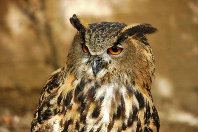 Exhibición aves rapaces - Búho Real (Monasterio de Piedra)