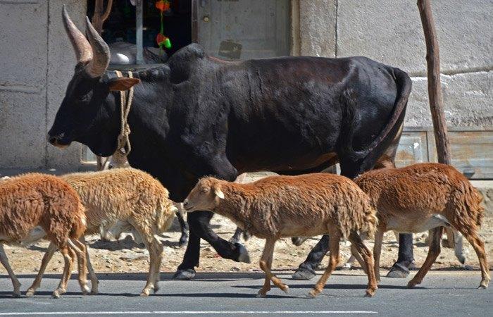 Las vacas etíopes se parecen a las representadas en el antiguo Egipto