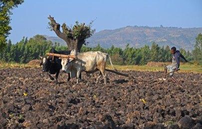 El uso del arado romano es aún el más habitual en Etiopía