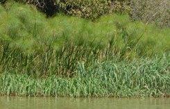 Carrizos y papiro en las orillas del lago Tana