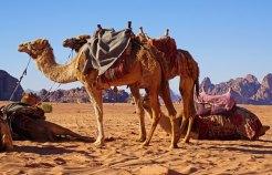 Camellos en Wadi Rum