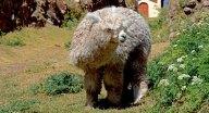 Chinchero. Alpaca