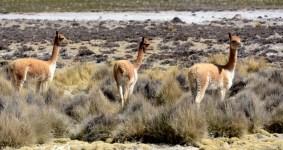 Reserva Nacional de Salinas. Vicuñas entre la Puna