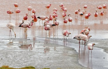 Laguna Colorada - Flamencos