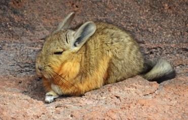 Vizcacha, el roedor mas grande de los Andes