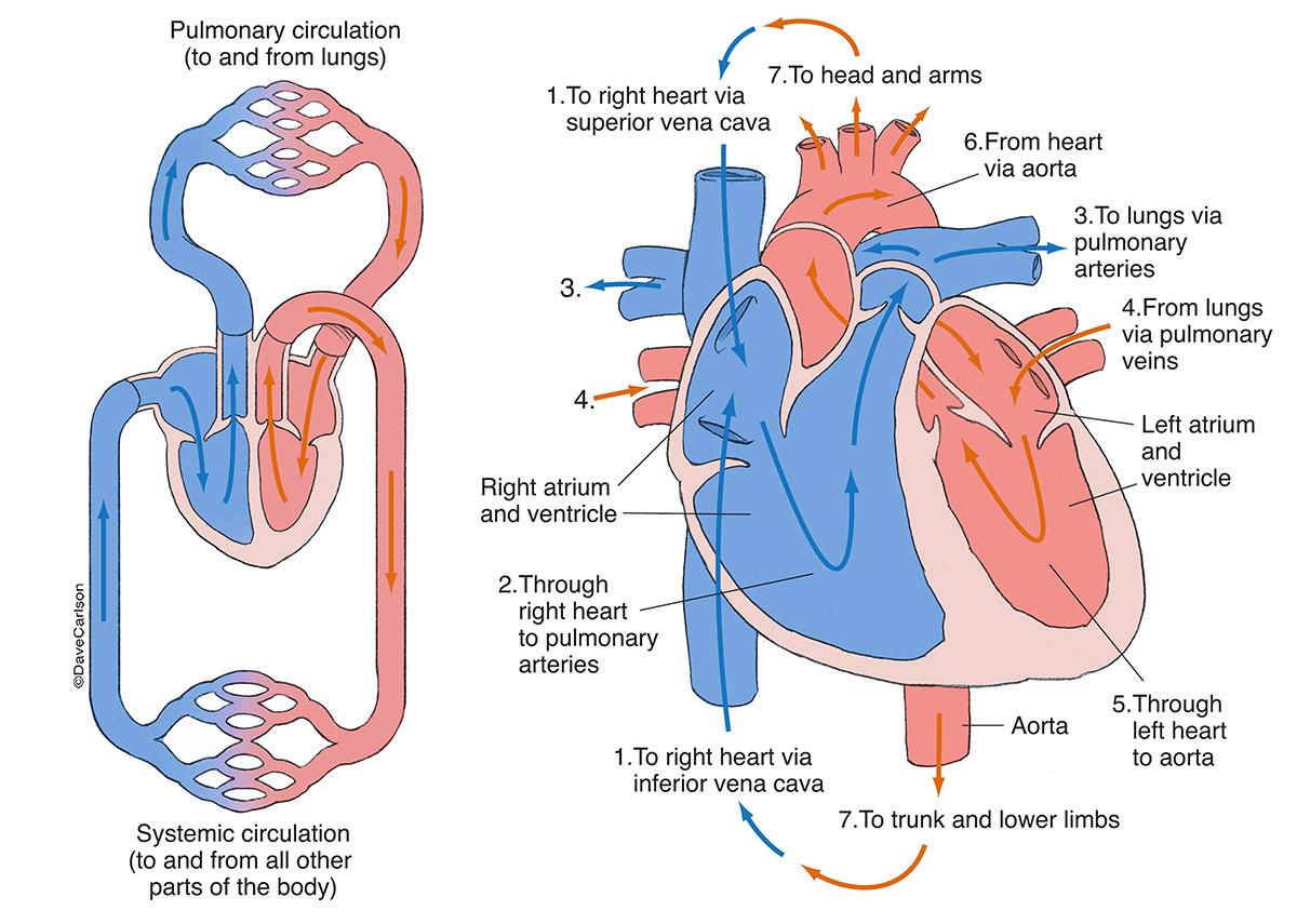 Cardiovascular Networks