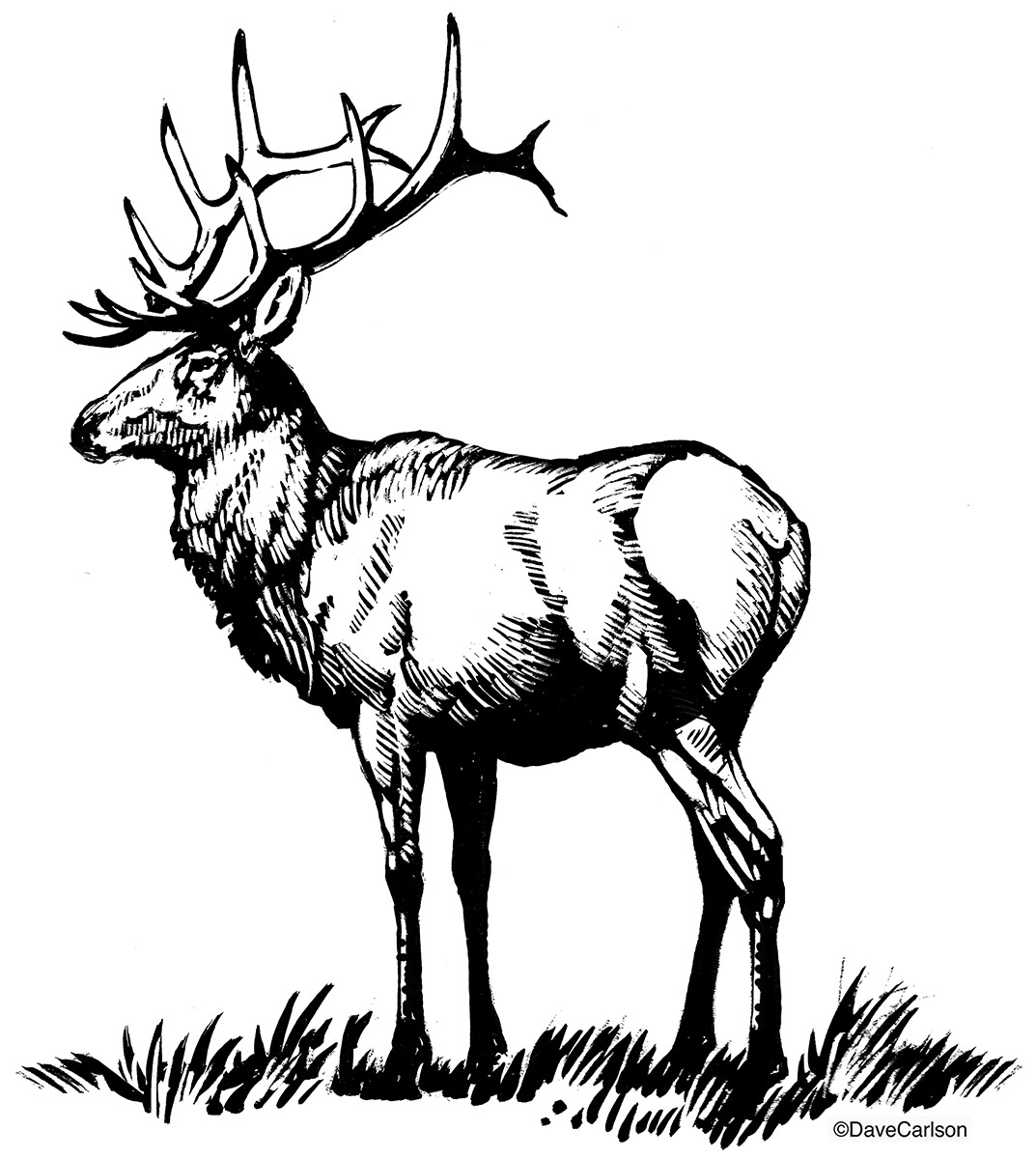 Bull Elk Illustration