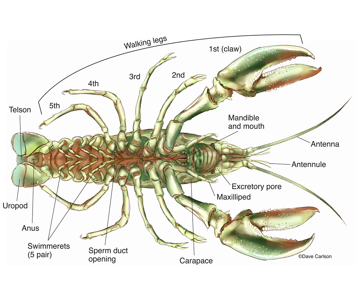 interior crayfish dissection » Full HD MAPS Locations - Another ...
