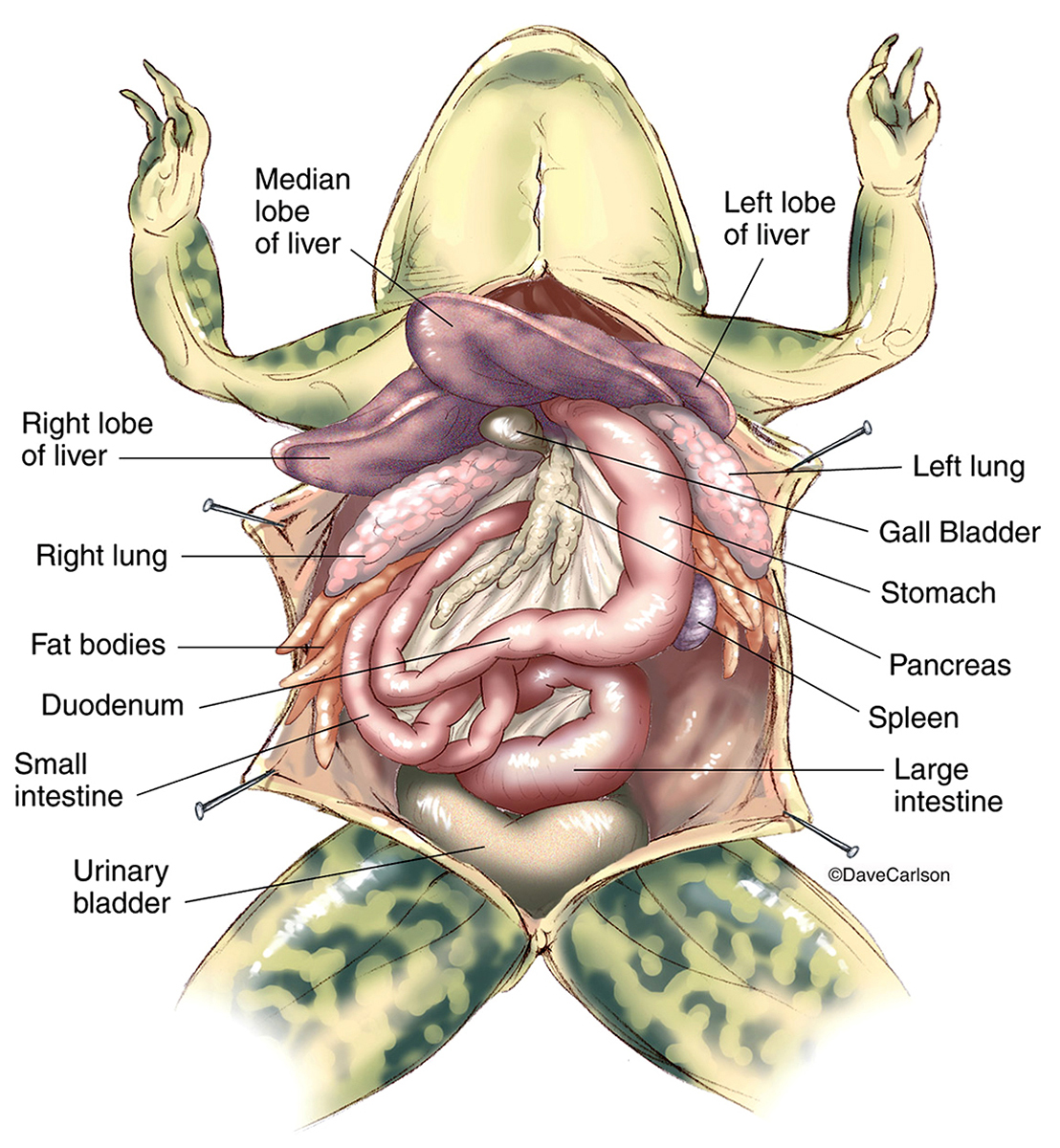 Frog Anatomy Overview 2