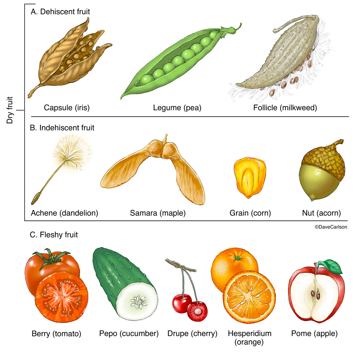 Fruit Types Carlson Stock Art