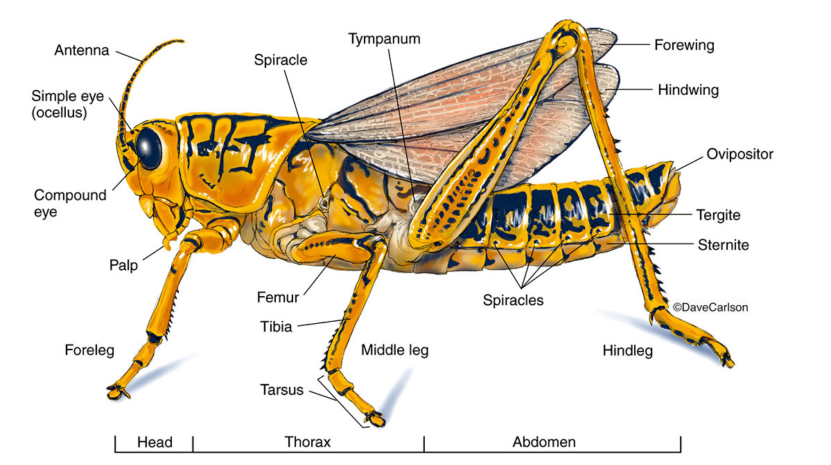 Grasshopper Internal Anatomy