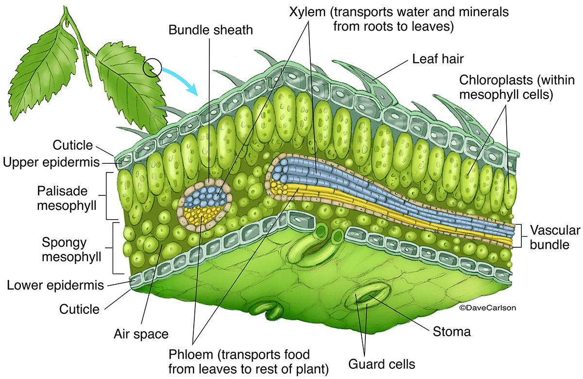 Leaf Section Illustration Pictures To Pin