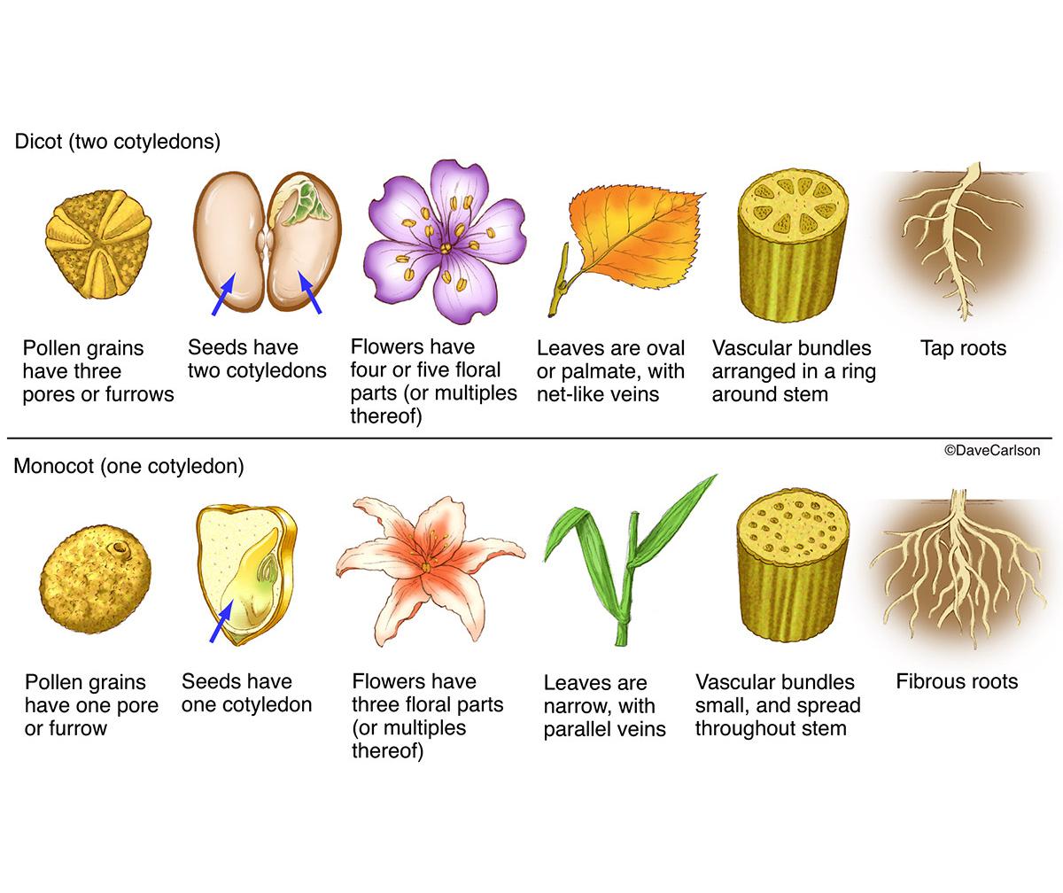 Monocot Vs Dicot Plants