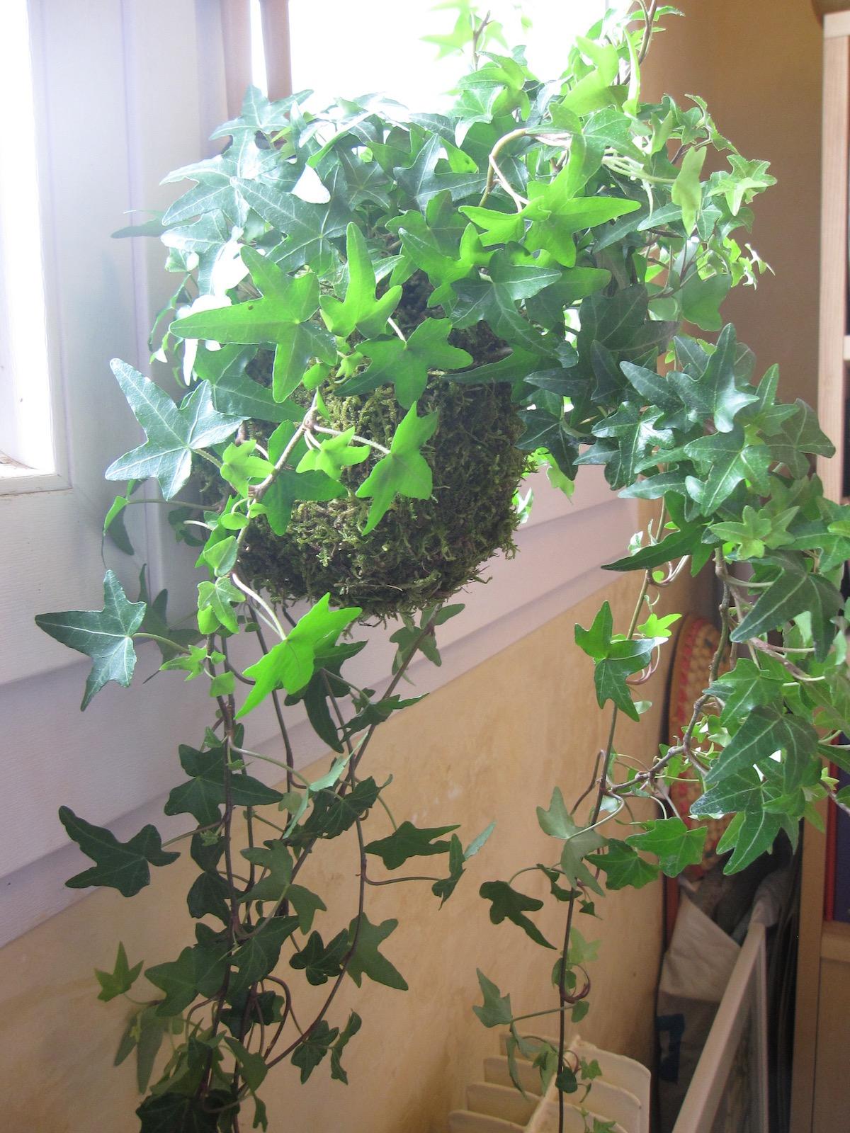 plante lierre japonais
