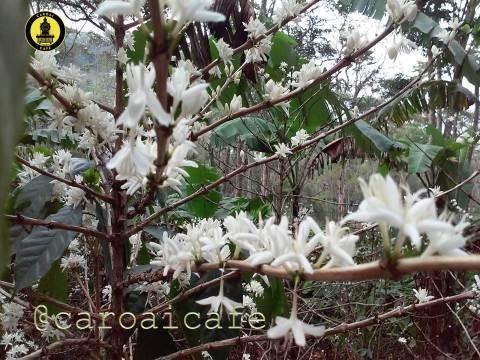 Floración de cafetales