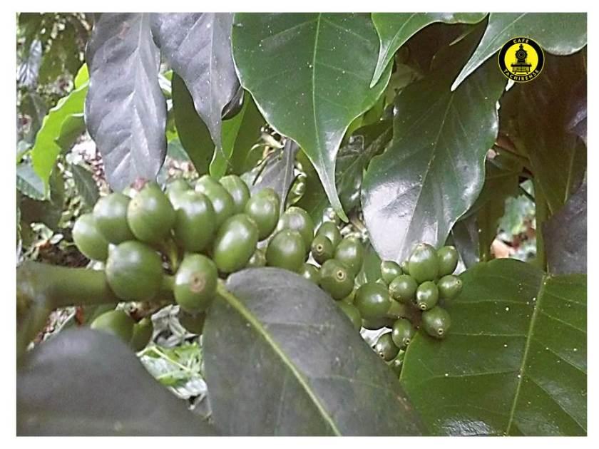 Cerezas de café de la especie Arábica variedad Inia 01 de la finca Los Nonnos, Mcpo. Guasimos Táchira Altura 1200 msnm