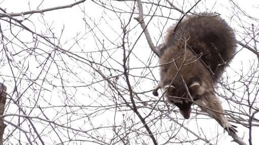 Mama raccoon stretches to reach the next branch in her treetop travels
