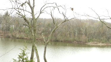 A mama raccoon travels from her nest, walking thin branches high over a lake below