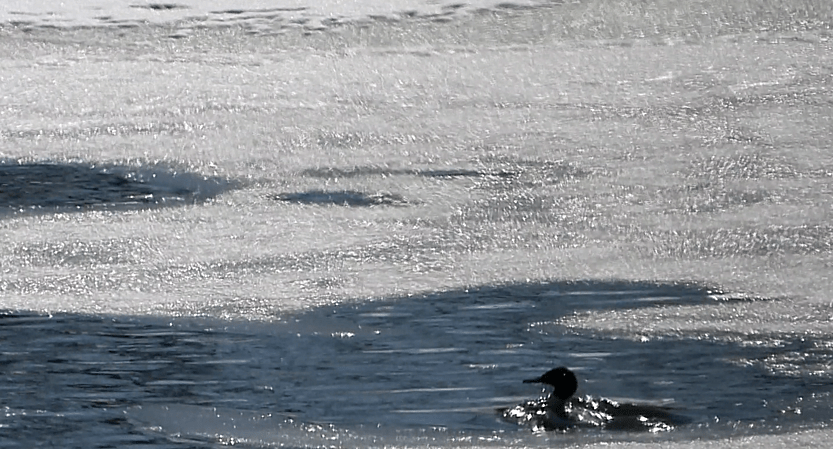 Two Common Mergansers fish in ice-covered Lake Allegan