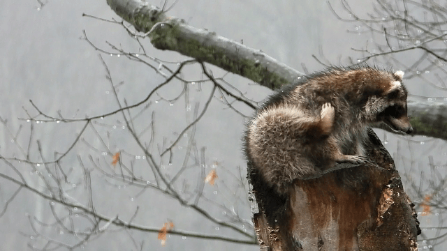 A raccoon sits on top of a broken tree that's become a nesting snag.