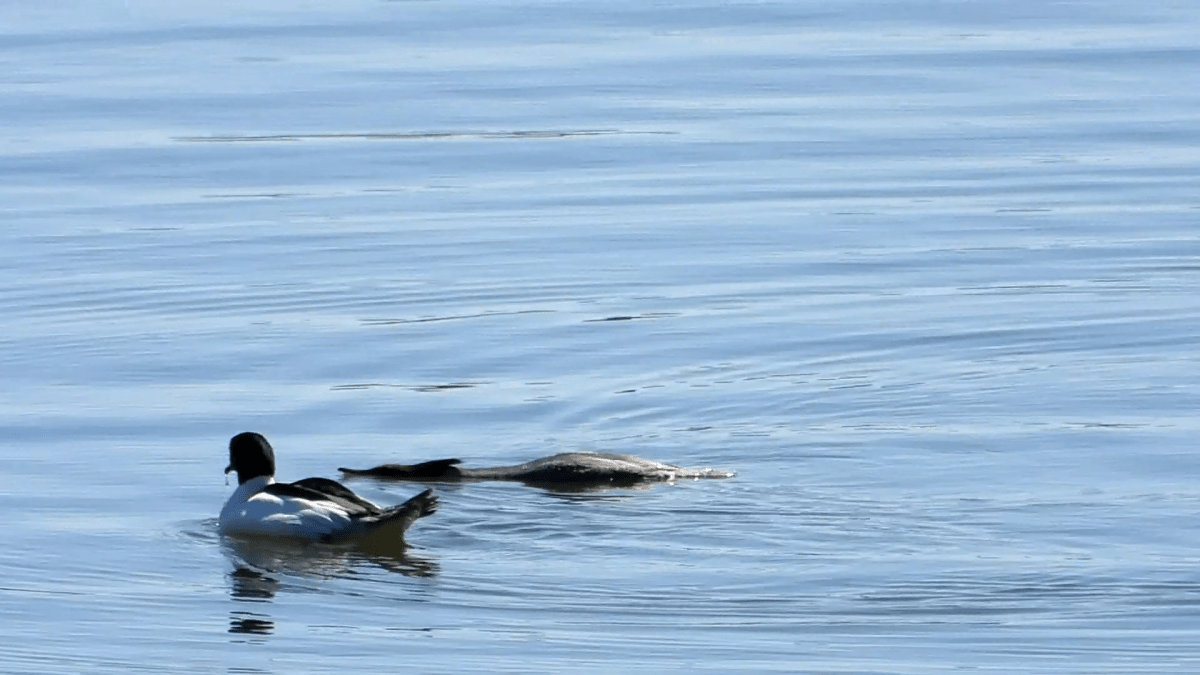 A female common merganser floats prone in the water, signaling her availability to a male nearby.