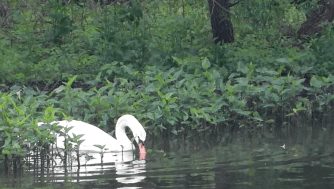 Mute Swan feeds in the weeds