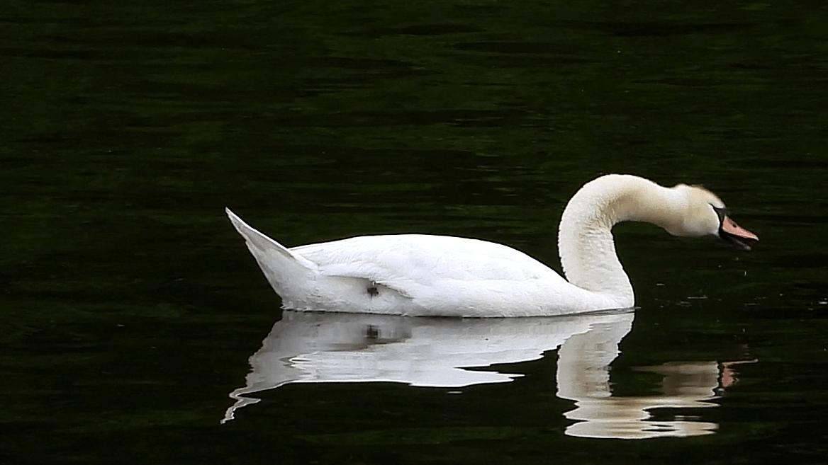 Solitary Swan