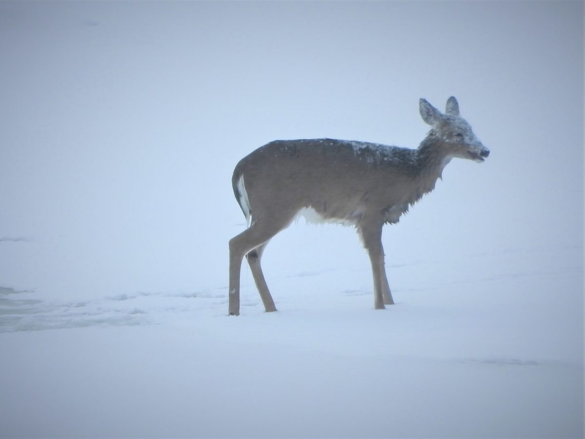 Deer after escaping from a fall through lake ice