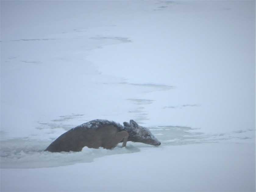 Deer crawls out of ice he crashed through.