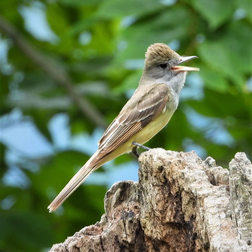 Great Crested Flycatcher on a snag