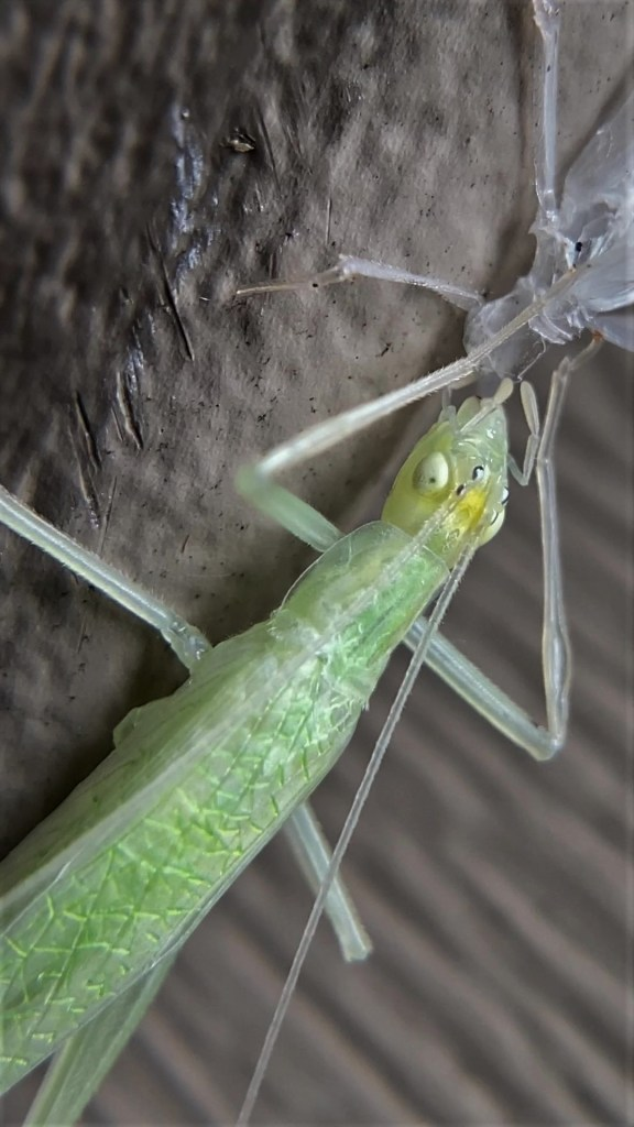A tree cricket eating its exoskeleton, with a close-up view of curved spots at the base of her antennae.