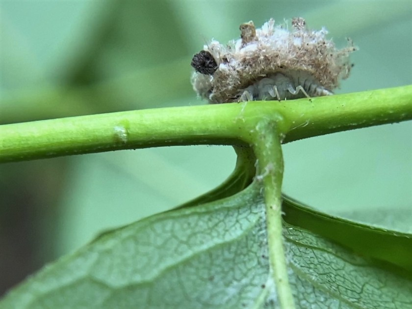 A view of a debris-carrying lacewing larva that shows the larva's body beneath the debris pile.
