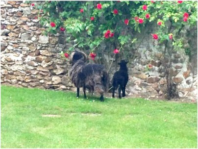 Our sheep eating the priest's roses