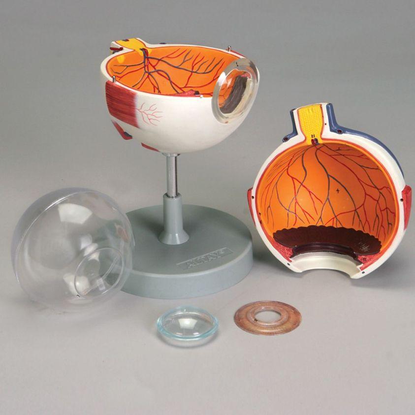 Altay Human Eye Model | Carolina.com