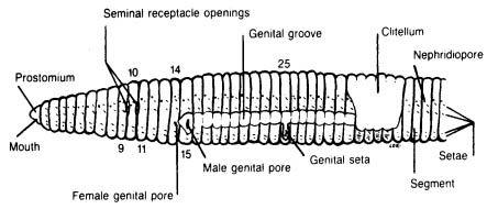 Earthworm Dissection   Carolina.com