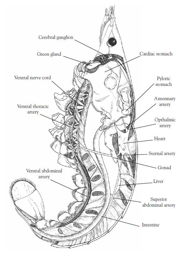 Attractive Internal Anatomy Of The Crayfish Adornment - Human ...