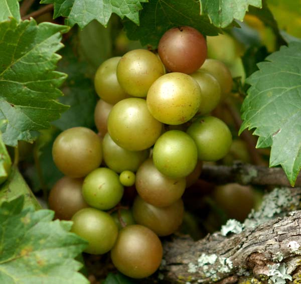 scuppernongs